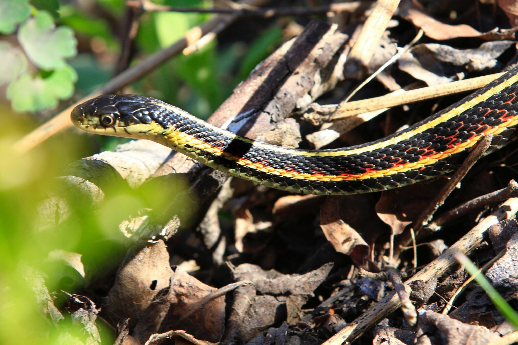 identifier un serpent jarretière